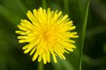 Сlipart Flower Dandelion Meadow Yellow Nature photo  BillionPhotos