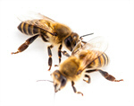 Сlipart Bee Honey Bee Insect Isolated Animal photo  BillionPhotos
