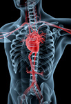 Сlipart Human Heart Anatomy Human Cardiovascular System Healthcare And Medicine Medical Exam 3d  BillionPhotos