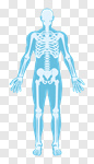 Сlipart Body Silhouette Human Skeleton People Anatomy vector cut out BillionPhotos