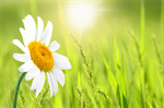 Сlipart Daisy Single Flower Flower Daisy Family White   BillionPhotos