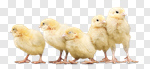 Сlipart white hat chicken easter animal photo cut out BillionPhotos