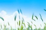 Сlipart Wheat Oat Agriculture Field Green photo  BillionPhotos