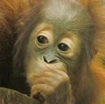 Сlipart Orangutan Monkey Sumatra Sumatran Orangutan Ape photo  BillionPhotos