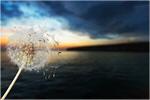 Сlipart Dandelion Wishing Blowing Pollen Wind   BillionPhotos