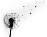 Сlipart Dandelion Single Flower Flower White Black photo  BillionPhotos