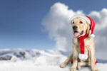 Сlipart pet dog animal white holiday   BillionPhotos