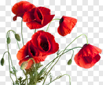 Сlipart Poppy Corn Poppy Isolated Red Flower photo cut out BillionPhotos