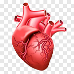 Сlipart Human Heart Anatomy Healthcare And Medicine Human Internal Organ Vector vector cut out BillionPhotos