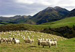 Сlipart Sheep Lamb Grazing Rural Scene Agriculture photo  BillionPhotos