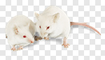 Сlipart Mouse White Rodent Isolated Animal photo cut out BillionPhotos