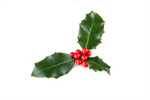 Сlipart Christmas Holly Leaf Berry Isolated photo  BillionPhotos