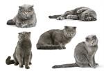 Сlipart Domestic Cat Pets Gray White Kitten   BillionPhotos