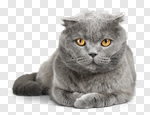 Сlipart cat white british shorthair animals photo cut out BillionPhotos