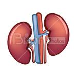 Сlipart Human Internal Organ Human Heart Symbol Anatomy Kidney vector icon cut out BillionPhotos