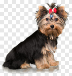 Сlipart Dog Yorkshire Terrier Small Terrier Isolated photo cut out BillionPhotos