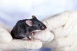 Сlipart Mouse Laboratory Animal Animal Testing Research photo  BillionPhotos