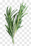 Сlipart Rosemary Twig Herbal Medicine Herb Organic photo cut out BillionPhotos