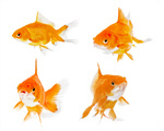 Сlipart Fish Goldfish Gold Isolated Animal   BillionPhotos