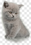 Сlipart Domestic Cat Kitten Cute Isolated Animal photo cut out BillionPhotos