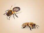 Сlipart Bee Honey Bee Insect Animal Nature   BillionPhotos