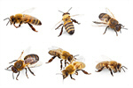 Сlipart Bee Honey Bee Insect Isolated Animal   BillionPhotos