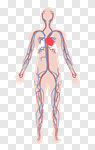 Сlipart Body The Human Body People Human Heart Anatomy vector cut out BillionPhotos
