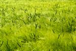 Сlipart Wind Wheat Cereal Plant Field Green photo free BillionPhotos