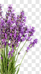 Сlipart Lavender Lavender Coloured Flower Purple Isolated photo cut out BillionPhotos
