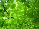 Сlipart Leaf Tree Maple Leaf Green Nature photo free BillionPhotos