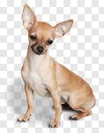 Сlipart Chihuahua Dog Sitting Isolated Cute photo cut out BillionPhotos