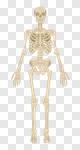 Сlipart Human Skeleton Human Bone Anatomy The Human Body People vector cut out BillionPhotos