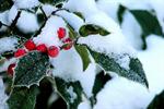 Сlipart Christmas Snow Holly Winter Berry Fruit photo  BillionPhotos