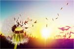 Сlipart dandelion closeup sunlight allergy orange   BillionPhotos