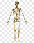 Сlipart Human Skeleton Anatomy Human Bone The Human Body Rear View 3d cut out BillionPhotos