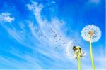 Сlipart Dandelion Dandelion Green Blowing Sowing Sky   BillionPhotos