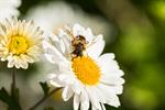 Сlipart Bee Honey Honey Bee Single Flower Daisy photo  BillionPhotos
