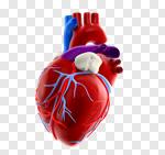 Сlipart Human Heart Human Internal Organ Anatomy Healthcare And Medicine Heart Surgery 3d cut out BillionPhotos