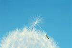 Сlipart Dandelion Seed Flower Wind Nature photo  BillionPhotos