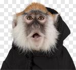 Сlipart Monkey Isolated Animal Vervet Monkey Primate photo cut out BillionPhotos