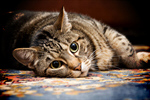 Сlipart Domestic Cat Pets Isolated Orange Tabby photo  BillionPhotos