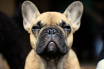 Сlipart Bulldog Dog Isolated Standing Adult photo  BillionPhotos