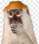 Сlipart Monkey Animal Intelligence Thinking Wildlife photo cut out BillionPhotos