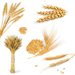 Сlipart Wheat Barley Cereal Plant Rye Whole Wheat   BillionPhotos