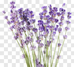 Сlipart Lavender Lavender Coloured Isolated Flower Single Flower photo cut out BillionPhotos