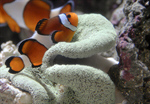 Сlipart Fish Tropical Fish Clown Fish Anemonefish Nemo Museum photo  BillionPhotos