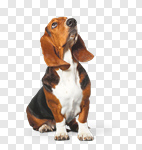 Сlipart Basset Hound Hound Dog Looking Up White photo cut out BillionPhotos