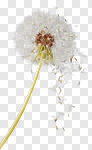 Сlipart Dandelion Wishing Blowing Pollen Wind photo cut out BillionPhotos