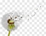 Сlipart Dandelion Wishing Human Fertility Sun Wind photo cut out BillionPhotos