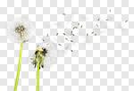 Сlipart Dandelion Dandelion Green Blowing Sowing Sky photo cut out BillionPhotos